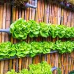 20190426A lettuce in wall garden-Family Garden Life